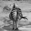 Gravid Zebra