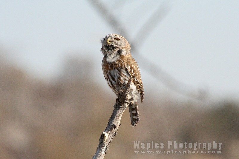 Pearl Spotted Owl Singing