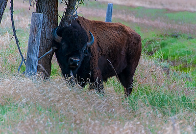 Bison; Grand Teton NP, Wyoming