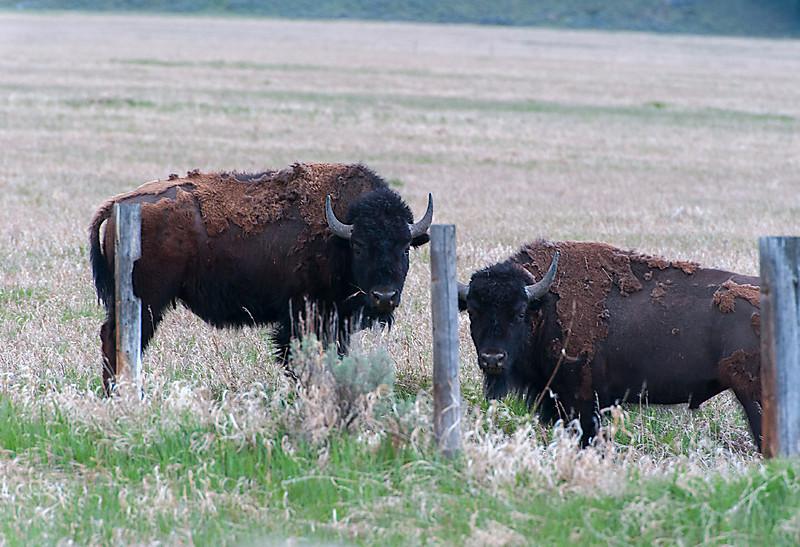 Bison; Grand Teton NP, Wyoming