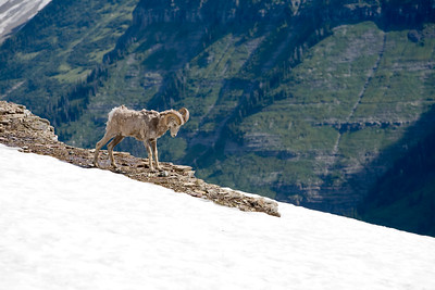 Big Horn Sheep on Glacier