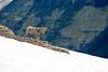 Big Horn Sheep on Glacier