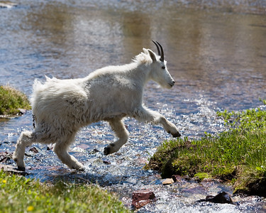 Mountain Goat Crossing Stream
