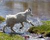 Mountain Goat Crossing Stream