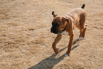 Boxer Bash 0108