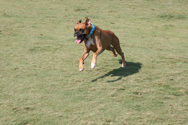Sascha makes a nice leap as she goes running after another Boxer