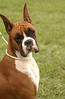 """Bridget in Boxer Show : Show in Wrightstown, PA on Oct. 1 - Bridget is a.k.a. """"McCoy's Give My Regards to Broadway"""", and is owned by Denise & Chip Williams."""