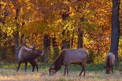 Autumn Bull Elk