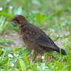 Blackbird - juv (Turdus merula)