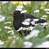 Blackbird (Turdus merula )