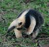Lesser Anteater-2481