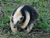 Lesser Anteater-2479