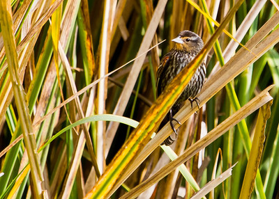 red winged blackbird - female