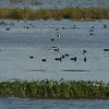 American Coots and Ring-Billed Ducks