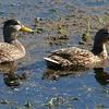Mottled Duck and a Mallard