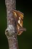 Gold Spot Moth