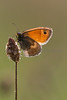 A Small Heath butterfly (Coenonympha pamphilus), basking in early sumer sun on Collard Hill in Somerset