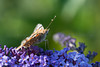 A Painted Lady butterfly (Vanessa cardui) rests between feeds on Buddleia flowers