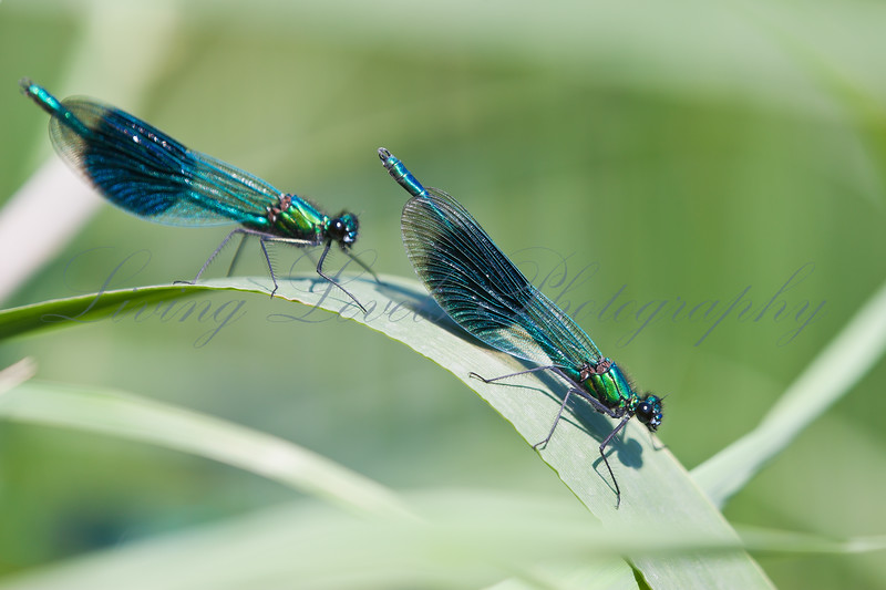 Banded Demoiselle (Calopteryx splendens) dragonflies resting during displaying for females on the bank of the River Brue