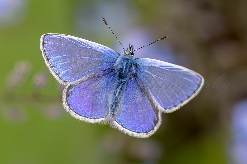 A warm day in May and a Common Blue butterfly (Polyommatus icarus) rests in the sun.