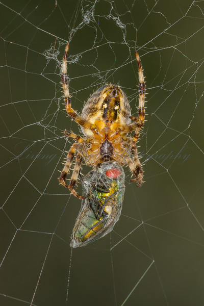 A Garden Spider (Araneus diadematus) feasts on a freshly trapped Green Bottle fly (Lucilla ceasar)