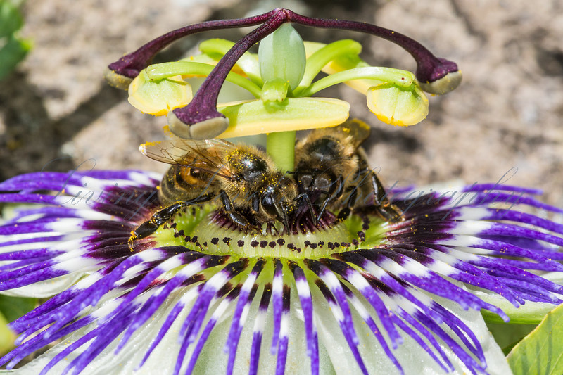 Two honey bees (Apis mellifera) feed on an open passion flower (Passiflora caerulea) in a garden in Somerset
