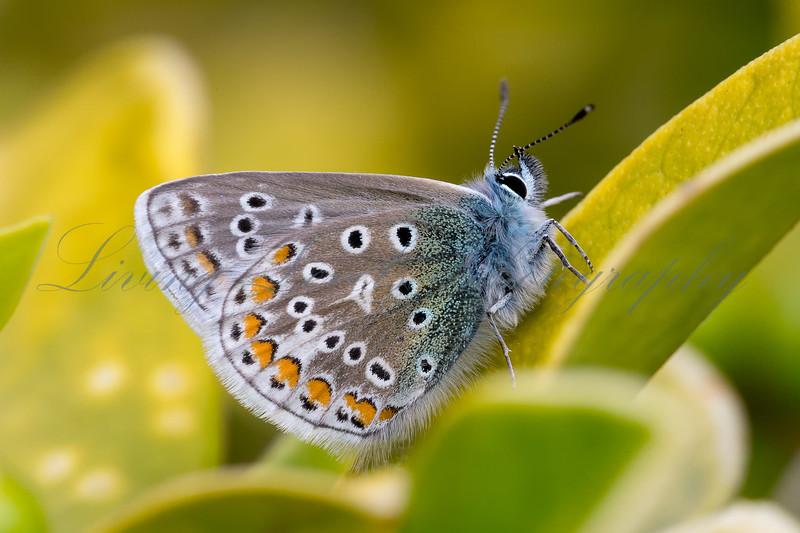 Male Common Blue 4