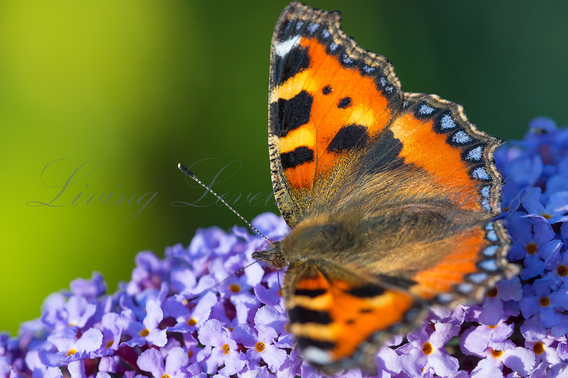 A Small Tortoiseshell butterfly (Aglais urticae) nectaring on Buddleia flowers