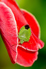 A green shield bug (Palomena viridissima) contrasts against a red gladiolus flower