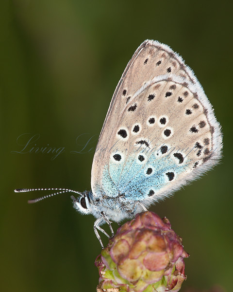 Large Blue (Maculinea arion) at rest on wild thyme.