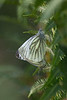 A Green Veined White butterfly (Pieris napi) rests on a bracken frond
