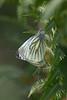 A Green Veined White butterfly (Pieris napi) rests on a bracken frond