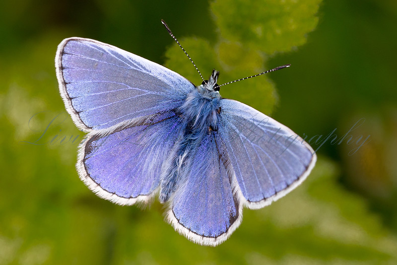 Male Common Blue 2