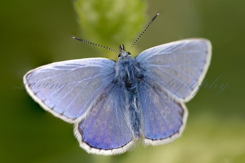 Male Common Blue 3