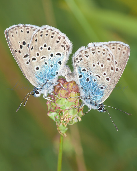Large Blue butterflies (Maculinea arion) mating on wild thyme.