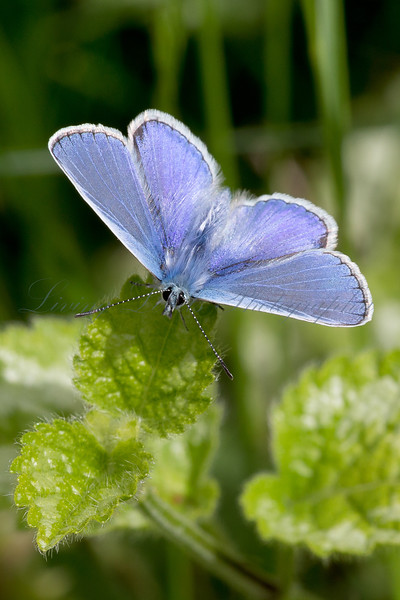 Male Common Blue 1