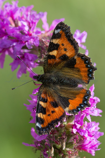 A Small Tortoiseshell butterfly (Aglais urticae) nectaring on purple flowers