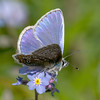 Male Common Blue 5
