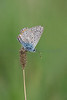 A Common Blue butterfly (Polyommatus icarus), basking in early sumer sun on Collard Hill in Somerset