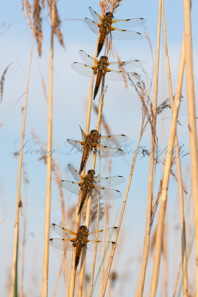 Four Spotted Chaser dragonflies  (Libellula quadrimaculata) perched in a row.