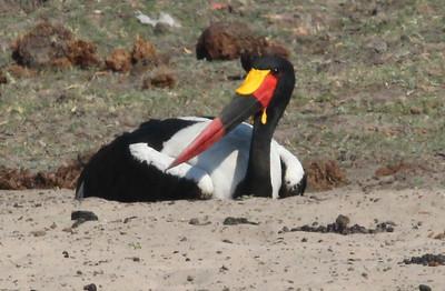 Broad-billed roller and saddle-billed stork