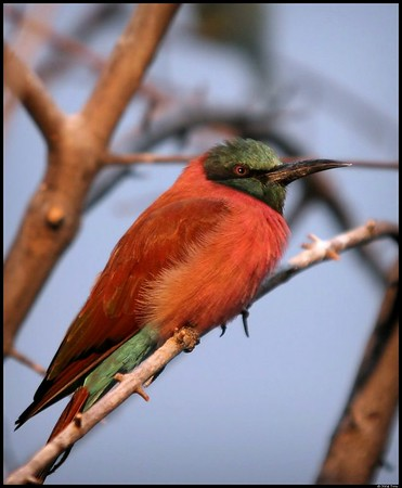 Bronx Zoo Bee Eaters