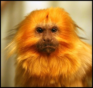 Bronx Zoo Golden Lion Tamarin