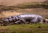 Hippo (18 75)