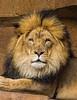 Lion-02