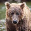 brown bears  katmai alaska 2012 :