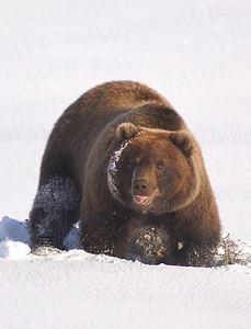Snowbear