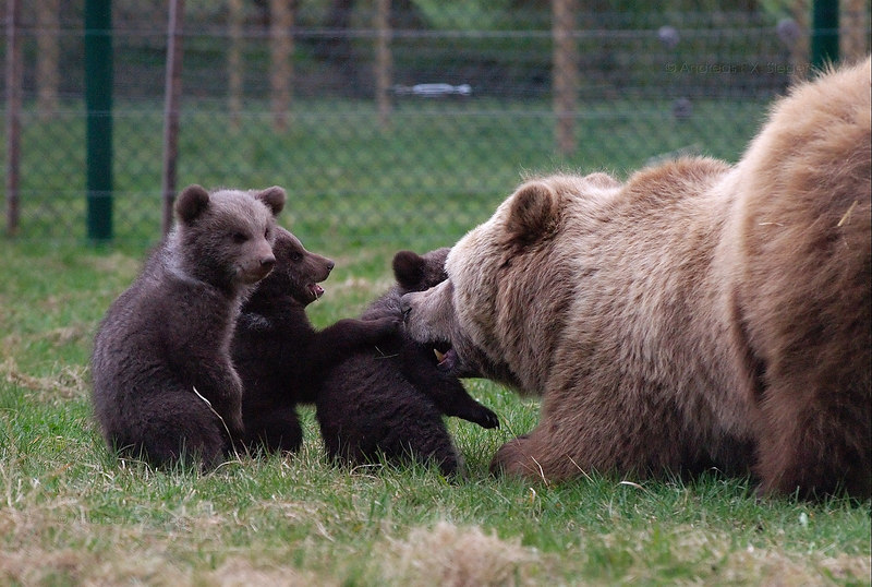 Brown bear with  3 month old cubs (high ISO, low light), April 3rd.