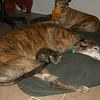 Buck with Taylor when he was just a little kitten.  Buck was always the gentlest of greyhounds, and Taylor was perfectly safe with him.   Jammer on the other hand (background) thought Taylor was a nice snack; and hence he had to wear a muzzle for a few months until Taylor grew a little.