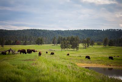 Buffalo Safari Jeep Tour | Custer State Park | South Dakota